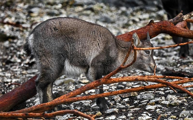 Alpine ibex kid 7. Alpine ibex kid on the ground. Latin name - Capra ibex royalty free stock photo