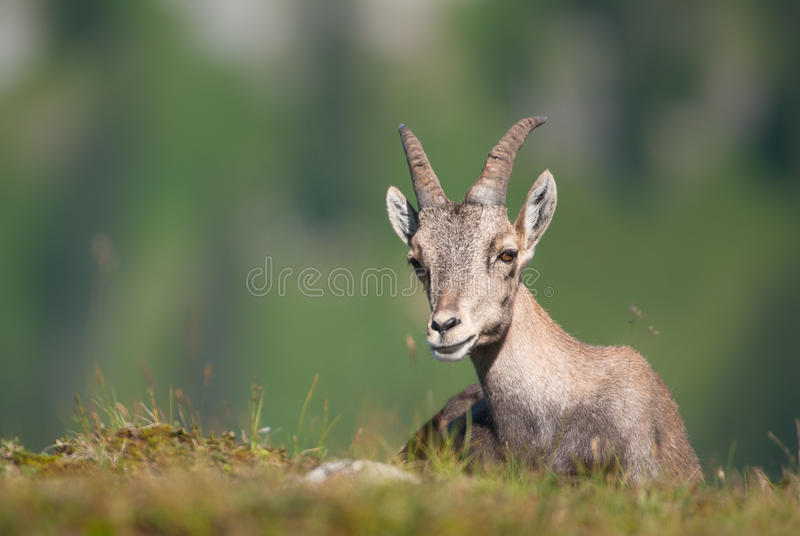 Alpine Ibex (lat. Capra ibex) in swiss alps.  stock photography