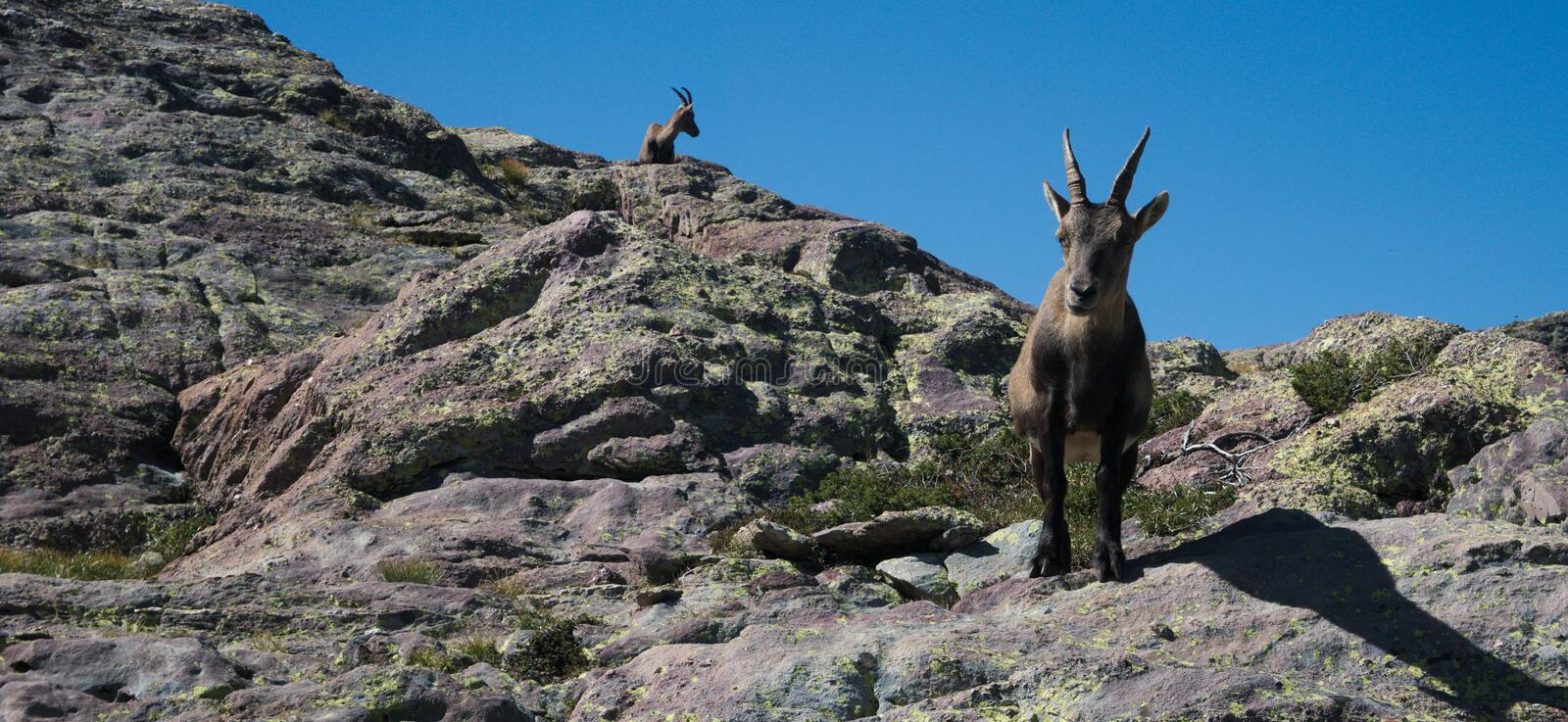 Alpine ibex looking at the camera on top of a peak royalty free stock photography