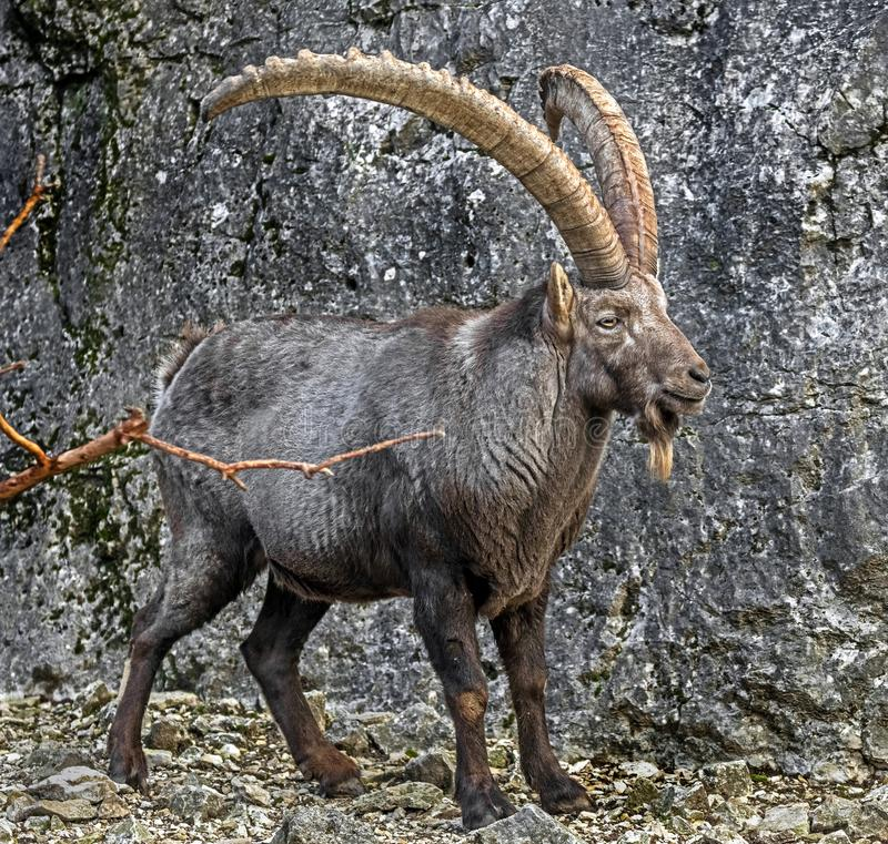 Alpine ibex male 5. Alpine ibex male near the vertical rock. Latin name - Ailurus fulgens stock photo