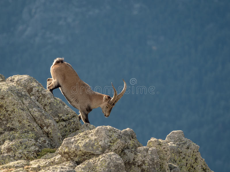 Alpine ibex male walking on the summit of the mountain. Alpine ibex Capra pyrenaica male walking on the summit of the mountain in Guadarrama mountain range royalty free stock photography