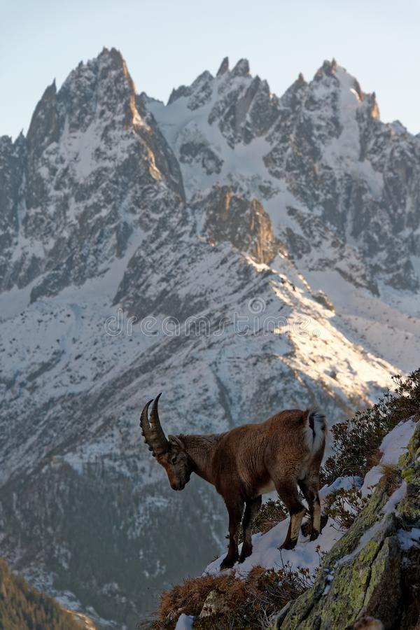 The Alpine ibex, the master of the mountains. The Alpine ibex, the mountain master and guardian : loneliness and peaceful strength royalty free stock photography