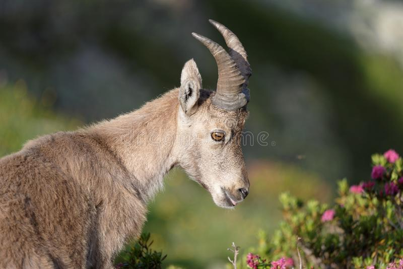 The Alpine ibex, the master of the mountains. The Alpine ibex, the mountain master and guardian : loneliness and peaceful strength royalty free stock photo