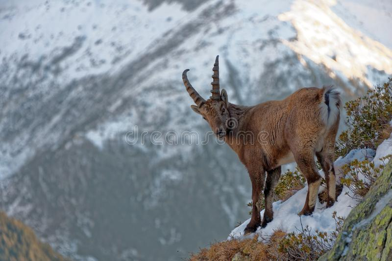 The Alpine ibex, the master of the mountains. The Alpine ibex, the mountain master and guardian : loneliness and peaceful strength stock images