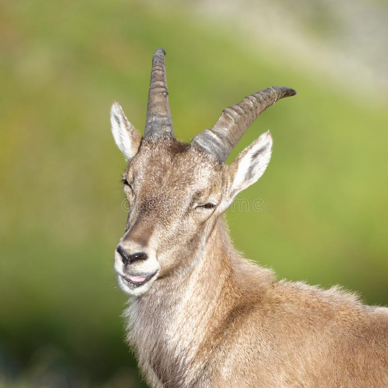 The Alpine ibex, the master of the mountains. The Alpine ibex, the mountain master and guardian : loneliness and peaceful strength stock photos