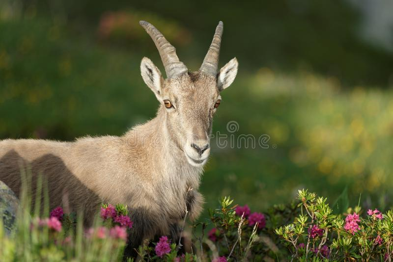The Alpine ibex, the master of the mountains. The Alpine ibex, the mountain master and guardian : loneliness and peaceful strength stock photo