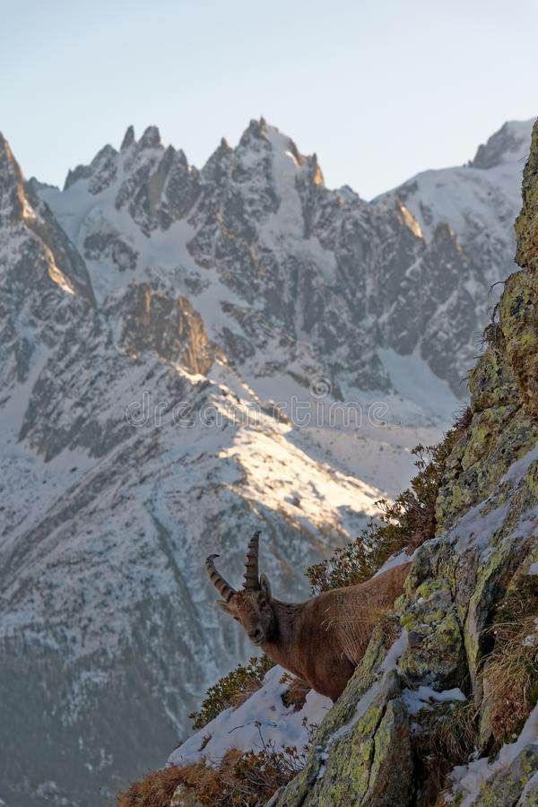 The Alpine ibex, the master of the mountains. The Alpine ibex, the mountain master and guardian : loneliness and peaceful strength stock image