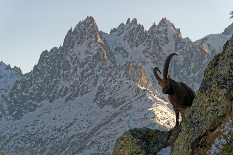 The Alpine ibex, the master of the mountains. The Alpine ibex, the mountain master and guardian : loneliness and peaceful strength royalty free stock photos