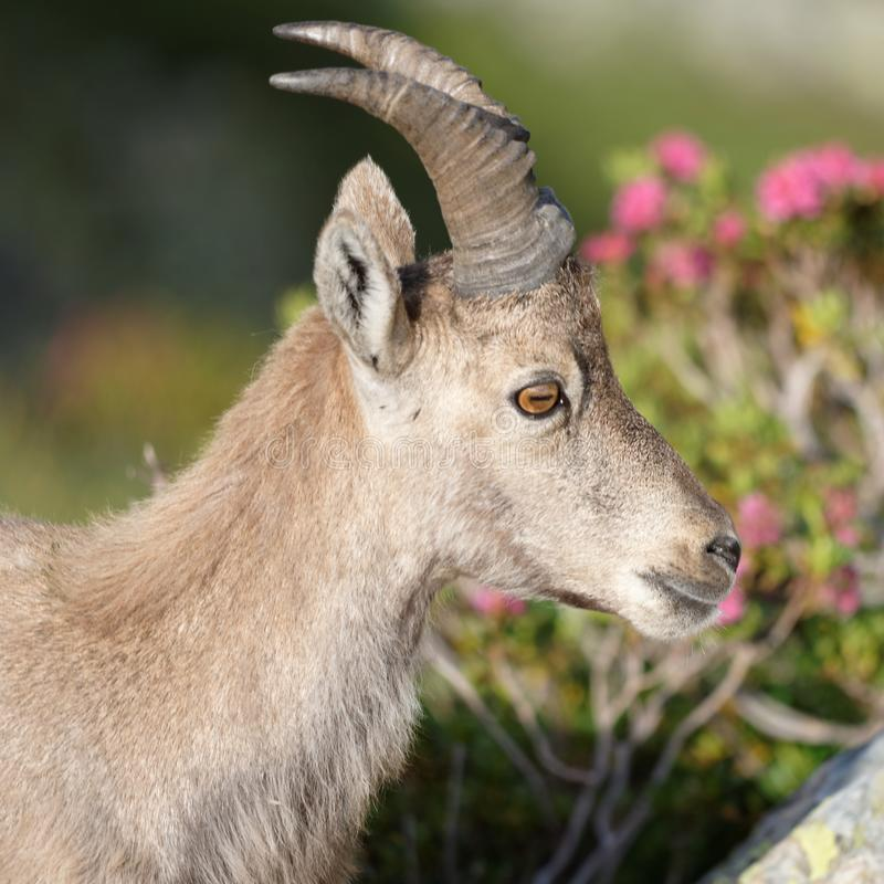 The Alpine ibex, the master of the mountains. The Alpine ibex, the mountain master and guardian : loneliness and peaceful strength royalty free stock image
