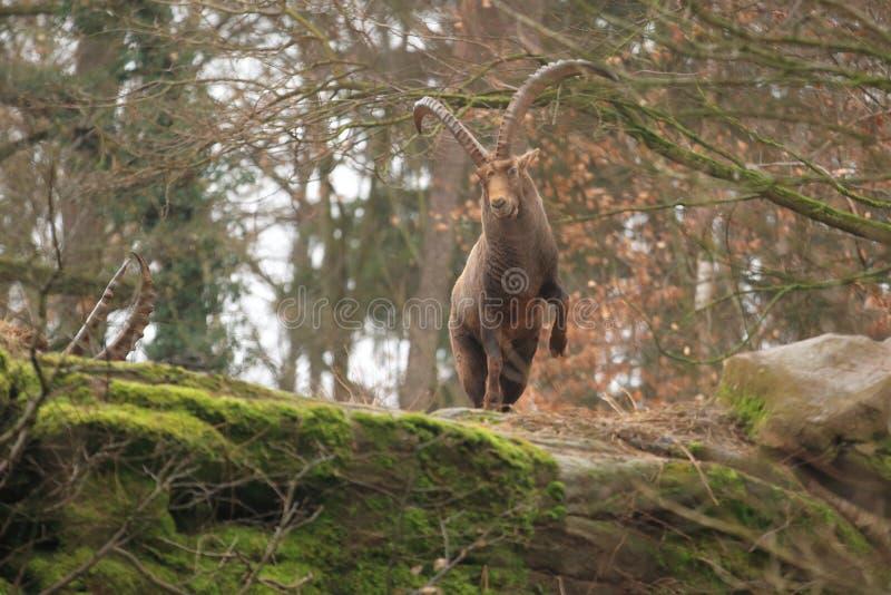 Alpine ibex. On the rock royalty free stock photo
