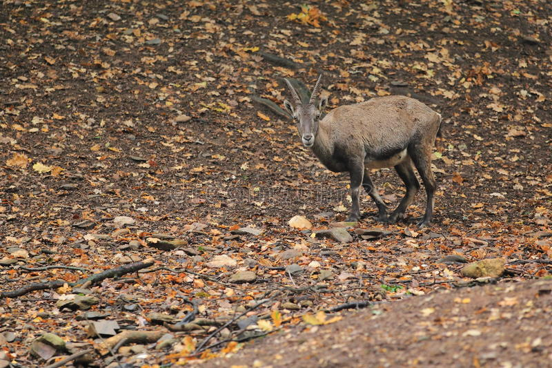 Alpine ibex. The alpine ibex standing in the soil covered by the fallen leaves royalty free stock photos