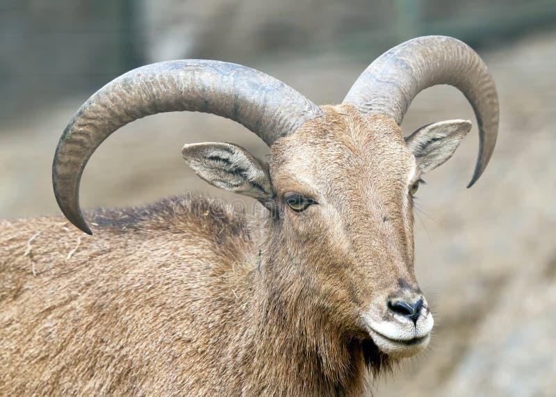 Alpine Ibex - Steinbock - Portrait Stock Photos