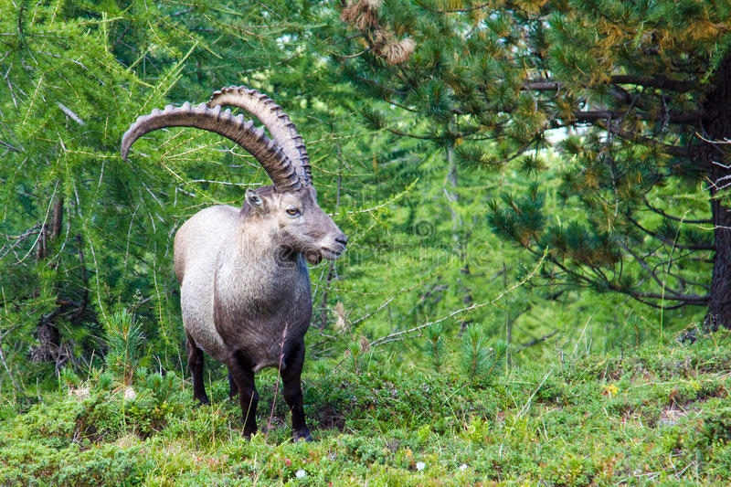 Alpine ibex in the swiss alps. Male alpine ibex in the swiss alps stock photos