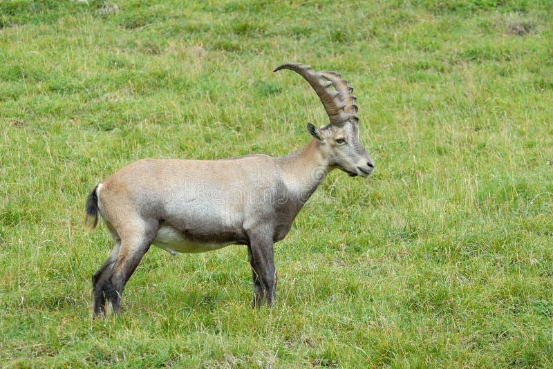 Alpine Ibex. Walking in gras royalty free stock image