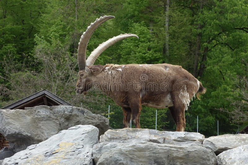 The Alpine ibex. It is wild goat that lives in the mountains of the European Alps royalty free stock images