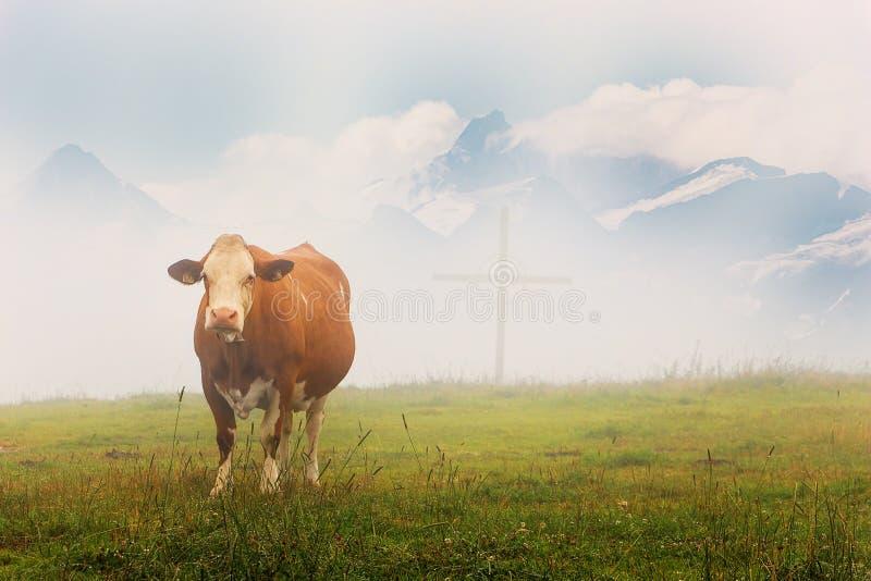 Alpine Kuh auf reichen Wiesen in österreichischen Alpen stockbilder