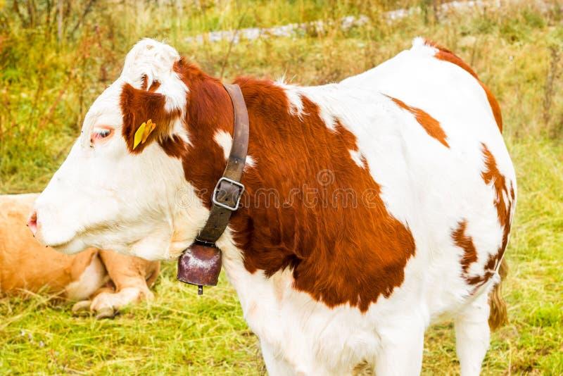 Alpine Kuh in seiner Weide lizenzfreie stockfotos