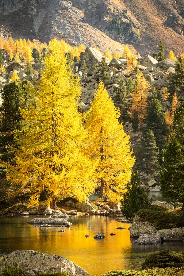 Alpine lake with larches. In the fall stock photo