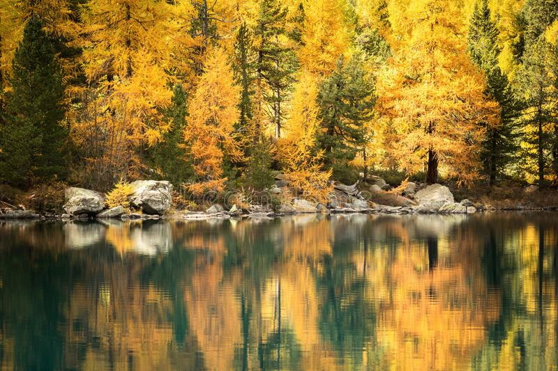 Alpine lake with larches. In the fall royalty free stock photos