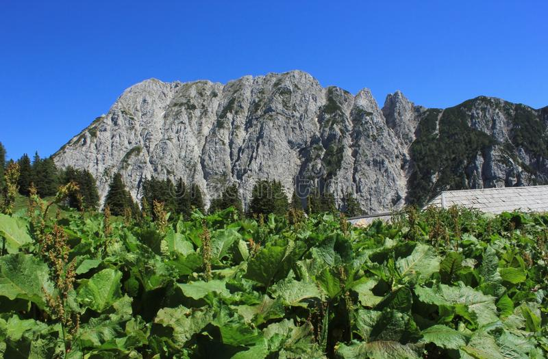 Alpine landscape and monks rhubarb (rumex alpinus) plants. Alpine landscape with monks rhubarb (rumex alpinus) plants, Alps, Slovenia stock photo