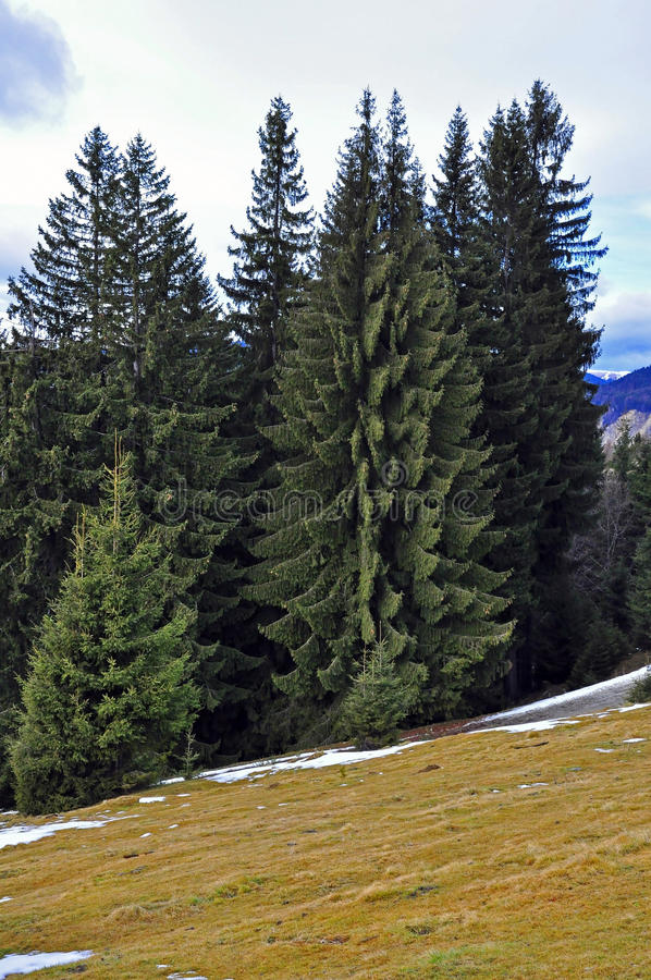 Alpine landscape with snowy pine forest royalty free stock image