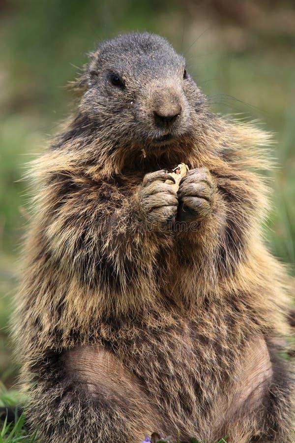 Free Alpine Marmot Stock Photography - 14059392
