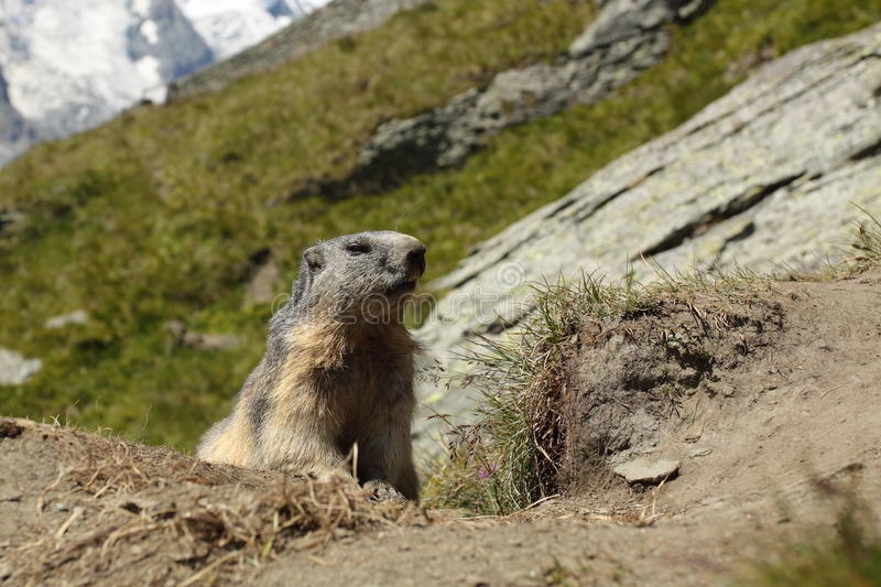 Download Alpine marmot stock photo. Image of ground, looking, rodent - 20604738