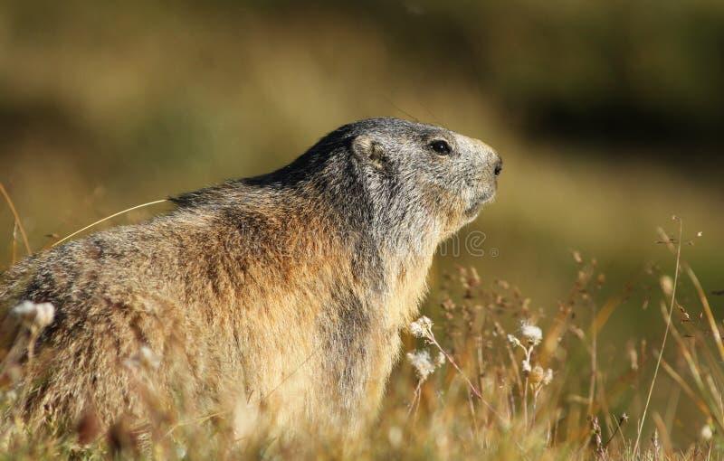 Download Alpine Marmot stock image. Image of vanoise, woods, woodchuck - 20976833