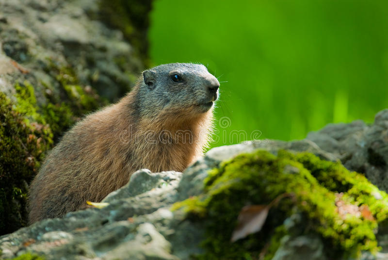 Download Alpine marmot stock image. Image of wildlife, young, rock - 9512455