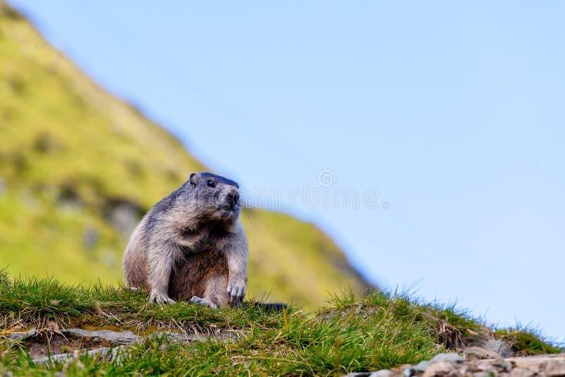Download Alpine Marmot (Marmota Marmota) Stock Image - Image: 22886289