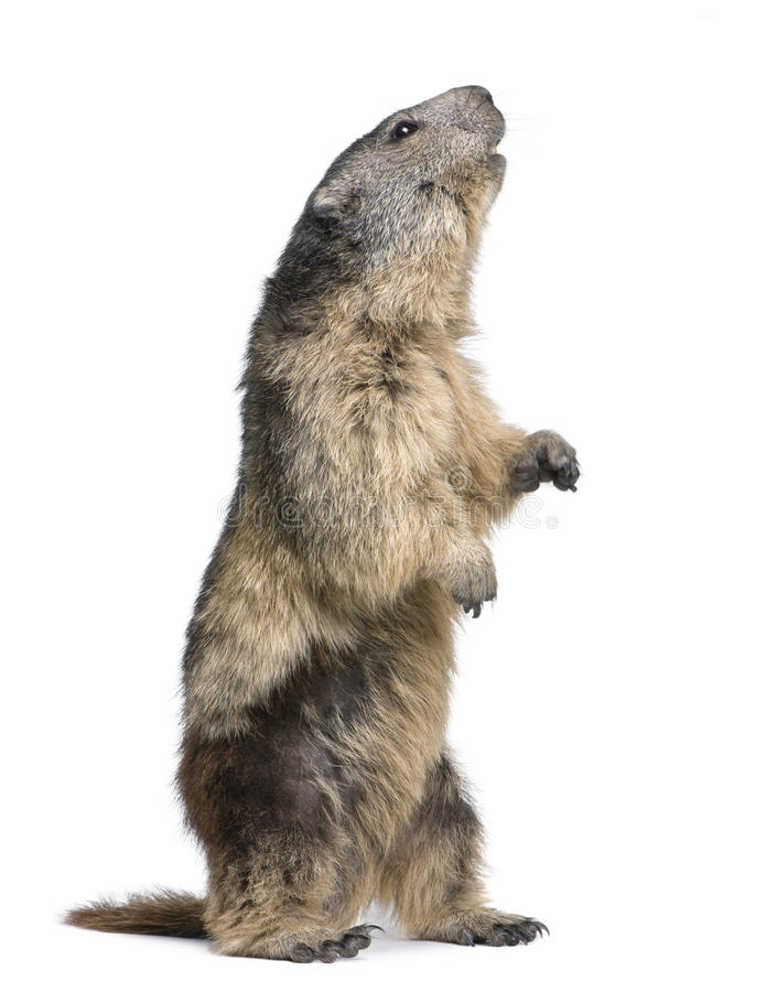 Download Alpine Marmot - Marmota Marmota (4 Years Old) Stock Photo - Image: 9536108