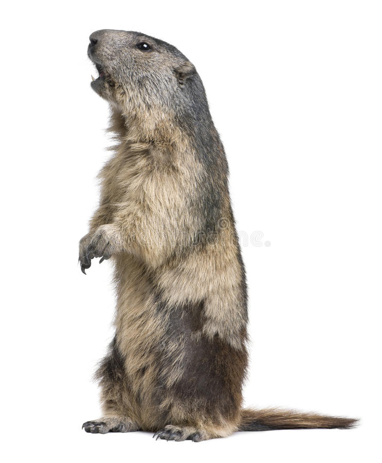 Download Alpine Marmot - Marmota Marmota (4 Years Old) Stock Photo - Image: 9536286