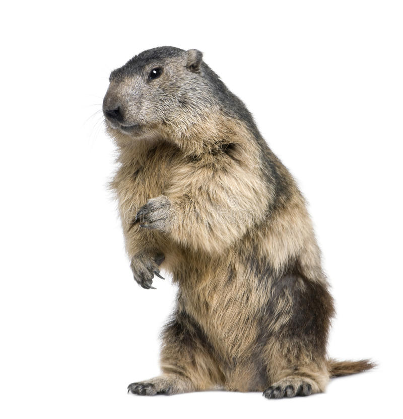 Free Alpine Marmot - Marmota Marmota (4 Years Old) Royalty Free Stock Photos - 9536298
