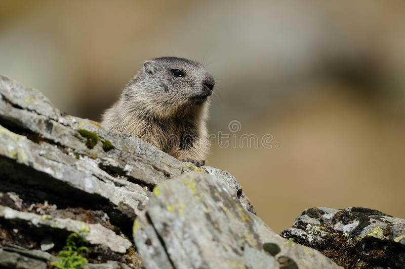 Alpine Marmot (Marmota Marmota). This large squirrel i can photograph in the European Alps royalty free stock photography