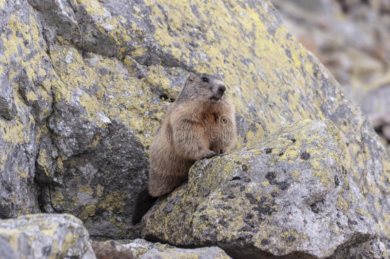 Alpine marmot Marmota marmota latirostris in the wild. Tatra Mountains royalty free stock photos