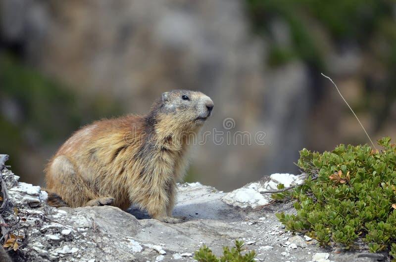 Alpine marmot on rock stock image