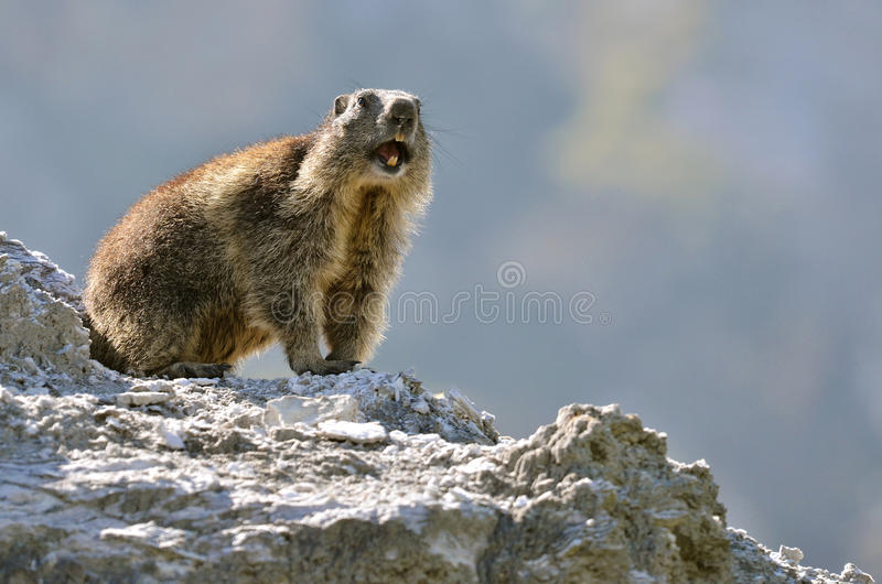 Download Alpine marmot on rock stock photo. Image of valley, tooth - 31471898