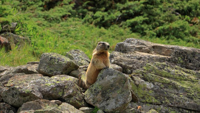 Alpine marmot in the wilderness of the Ötztal mountains in Tyrol, Austria. royalty free stock image