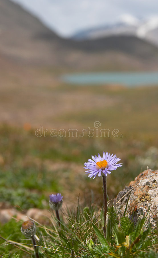 Alpine meadow. In the morning stock photo