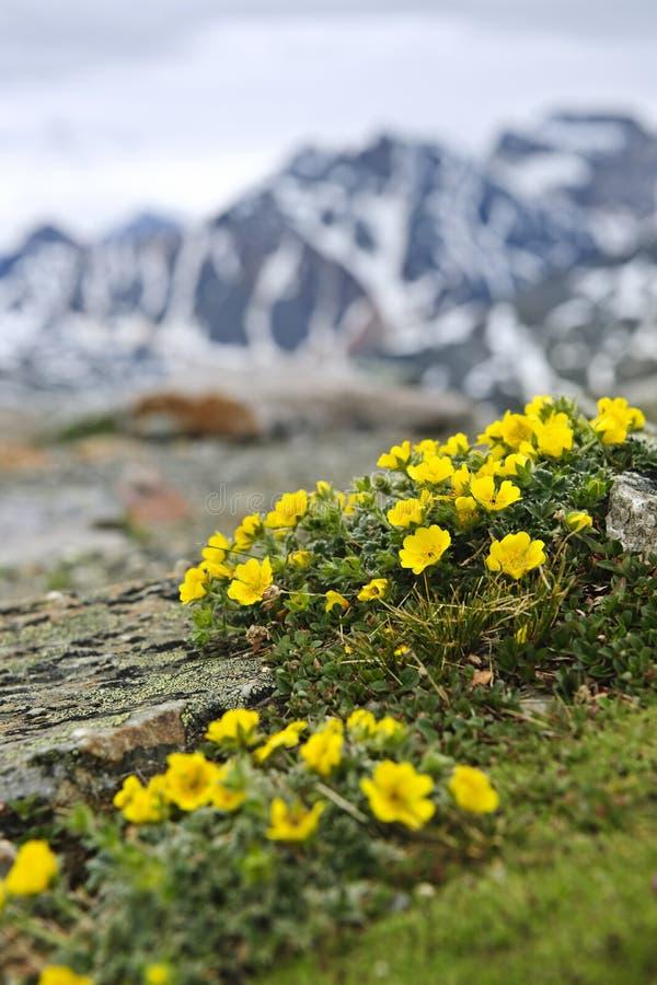Alpine meadow in Jasper National Park stock image