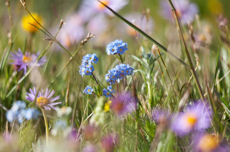 Alpine meadow in the summer royalty free stock photos
