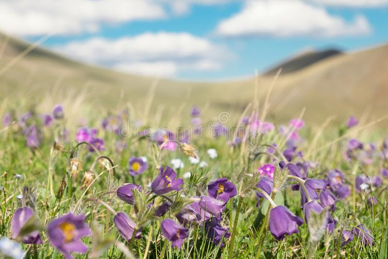 The Alpine meadow royalty free stock images