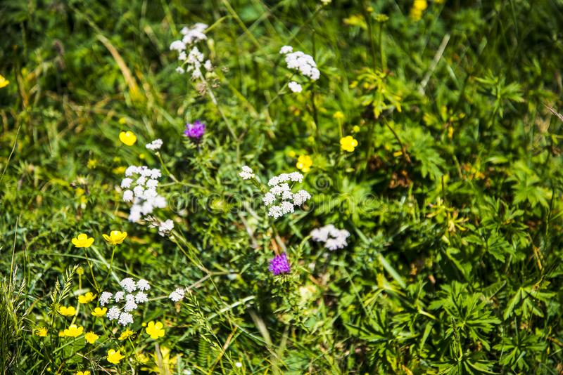 Alpine meadows with wild flowers on the summit of Monte Baldo in Italy. Monte Baldo, know since 1500 by the name of `Hortus Italiae`, is a treasure chest where stock photography