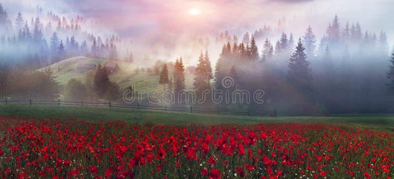 Alpine Mohnblumen in den Karpaten lizenzfreie stockfotos