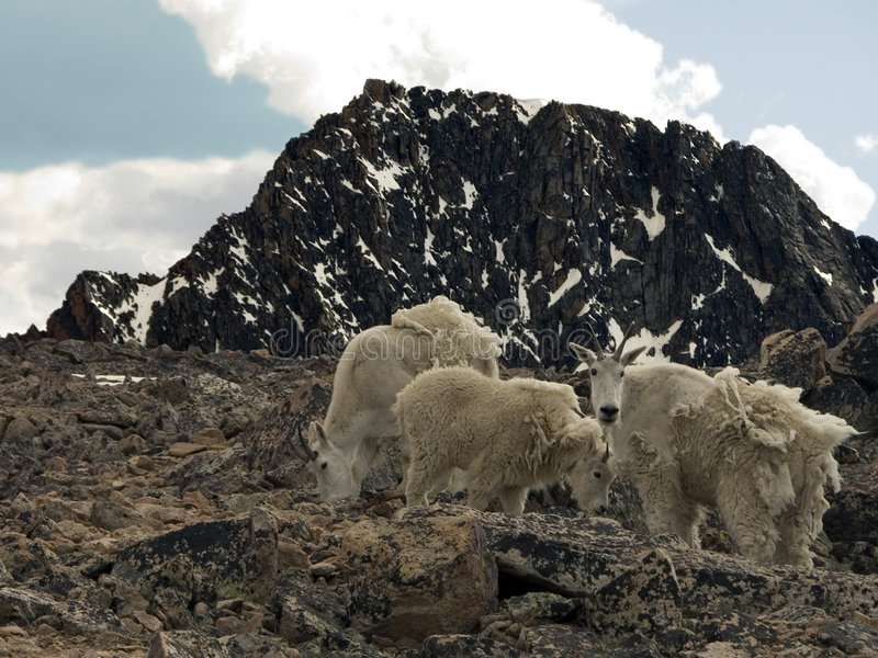 Download Alpine Mountain Goats stock photo. Image of huckleberry - 137224