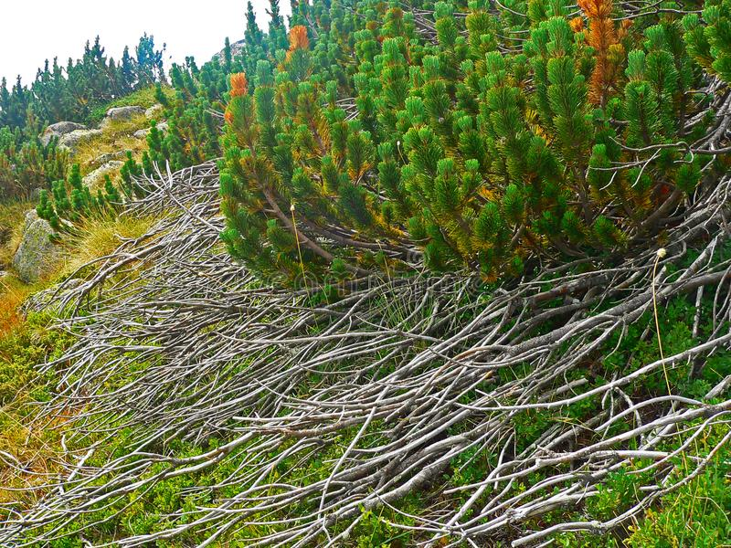 Download Alpine Mountain Vegetation Close Up Background Plant Pinus Mugo Textures And Grass. Stock Photo - Image of ledge, dizzy: 110473524