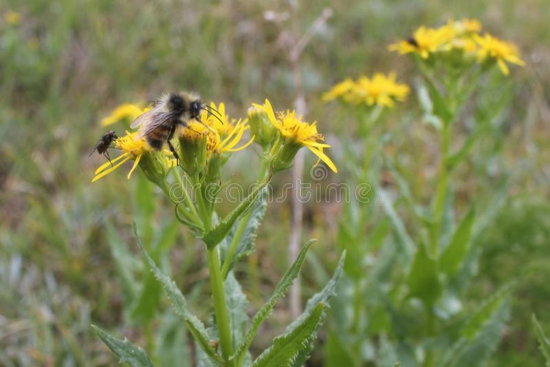 Alpine Nector. A shot of a wild bee in Valemount, British Columbia royalty free stock photos