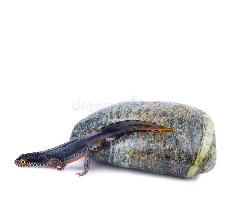 Alpine Newt (Ichthyosaura alpestris,Triturus alpes royalty free stock photography