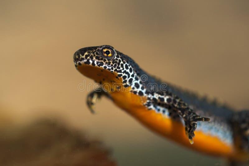 Alpine newt stock photos
