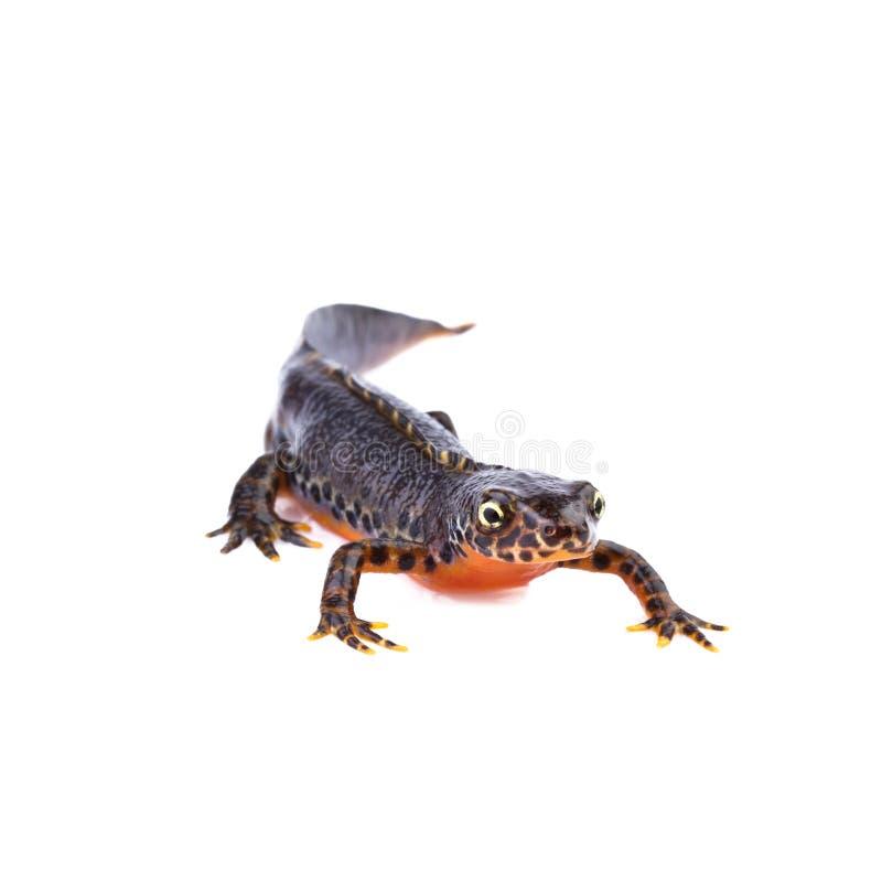 Alpine newt on white background stock photography